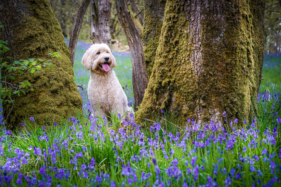 Cole in the Bluebells